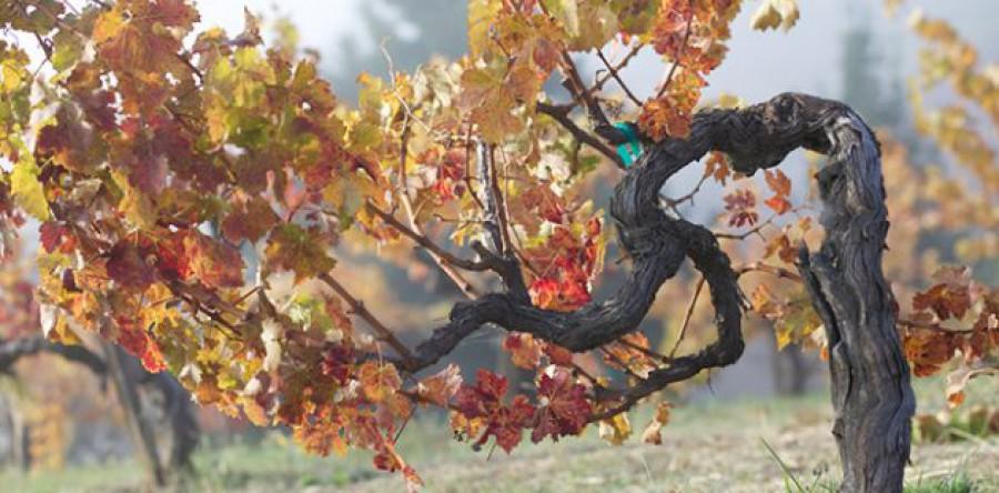 Một cây nho cho ra bao nhieu chai rượu vang ?